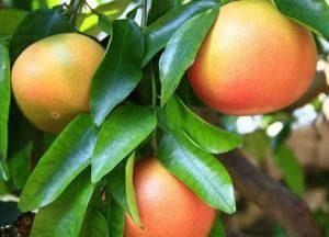 Плоды грейпфрута на дереве