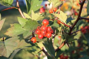 Растущие на кустарнике ягоды боярышника