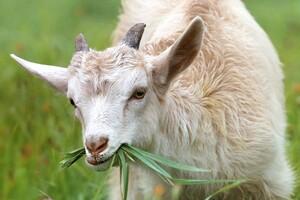 Козочка ест траву